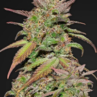Smoothie Auto Feminised Cannabis Seeds | Fast Buds