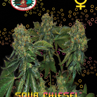 Sour Chiesel Auto Feminised Cannabis Seeds | Big Buddha Seeds