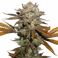 Sticky Fingers Feminised Cannabis Seeds | Seed Stockers