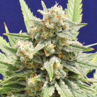 Stinkin Bishop Feminised Cannabis Seeds | Original Sensible Seed Company