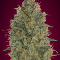 Strawberry Gum Feminised Cannabis Seeds | Advanced Seeds