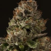 Strawberry Sour Diesel Regular Cannabis Seeds | Devil's Harvest Seeds