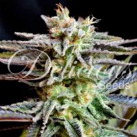 Sugar Black Rose Feminised Cannabis Seeds   Delicious Seeds