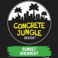 Sunset Sherbert Feminised Cannabis Seeds | Concrete Jungle Seeds