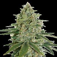 Super Skunk Feminised Cannabis Seeds | Seed Stockers