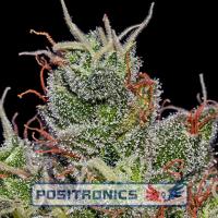 Super Cheese Express Auto Feminised Cannabis Seeds | Positronics