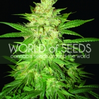 Coffee Ryder Auto Feminised Cannabis Seeds | World of Seeds