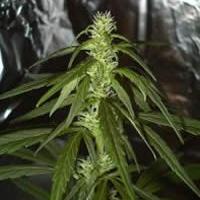 Swiss XT Regular Cannabis Seeds | KC Brains Seeds
