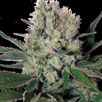 Syrup Auto Feminised Cannabis Seeds   Buddha Seeds