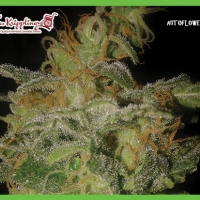Dr Krippling Incredible Bulk Auto Feminised Cannabis Seeds For Sale