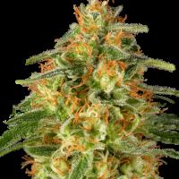 TNT Trichome Feminised Cannabis Seeds - Super Sativa Seed Club