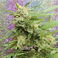 Tease Auto Feminised Cannabis Seeds | Dr Krippling