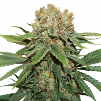 Thin Mint Crack Feminised Cannabis Seeds | Seed StockersThin Mint Crack Feminised Cannabis Seeds | Seed Stockers