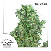 Think Different Auto Feminised Cannabis Seeds | Dutch Passion