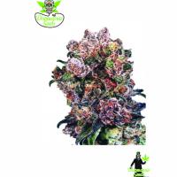 Trinity Kush Feminised Cannabis Seeds | Dispensario Seeds