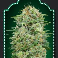 White Widow CBD Feminised Cannabis Seeds   OO Seeds
