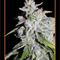 Walter White Auto Feminised Cannabis Seeds