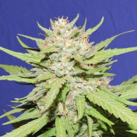 Wedding Cake Feminised Cannabis Seeds | Original Sensible Seed Company