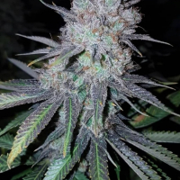 Wedding Cake Feminised Cannabis Seeds | Concrete Jungle Seeds