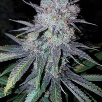 Wedding Cake Feminised Cannabis Seeds | Concrete Jungle Seeds