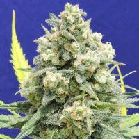 White Critical Feminised Cannabis Seeds    Original Sensible Seed Company