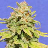 White Crystal Meth Auto Feminised Cannabis Seeds | Original Sensible Seed Company