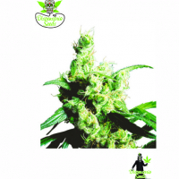 White Snow Feminised Cannabis Seeds | Dispensario Seeds