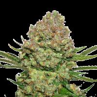 White Widow Auto Feminised Cannabis Seeds | Seed Stockers