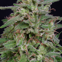 White Widow Feminised Cannabis Seeds | Big Head Seeds