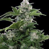 White Dwarf Auto Feminised Cannabis Seeds   Buddha Seeds