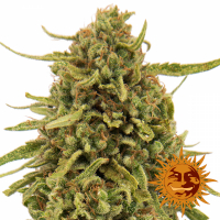 Widow Remedy Regular Cannabis Seeds | Barney's Farm