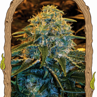 Z&Z Feminised Cannabis Seeds | Exotic Seeds