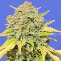 Zkittlez Feminised Cannabis Seeds | Original Sensible Seed Company