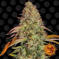 Zkittlez OG Auto Feminised Cannabis Seeds   Barney's Farm