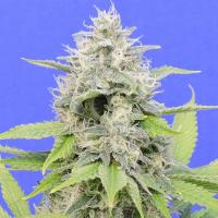 Zkittzy Gorilla Feminised Cannabis Seeds | Original Sensible Seed Company