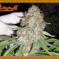 Dr Krippling Blue Kripple Feminised Cannabis Seeds For Sale