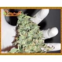 Dr Krippling Buzz Light Gear Feminised Cannabis Seeds For Sale
