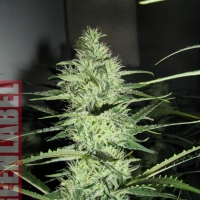 Ace Silver Haze (Formerly Super Silver Haze) Feminised Cannabis Seeds | GreenLabel Seeds