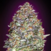 Advanced Seeds Auto NYC Diesel Feminised Cannabis Seeds