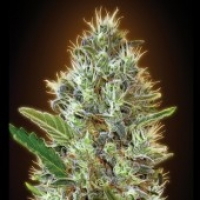 Advanced Seeds Auto Somango Feminised  Cannabis Seeds