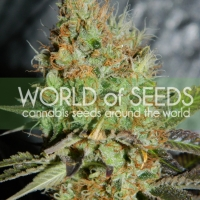 Afghan Kush Special Cannabis Seeds | Discount Cannabis Seeds