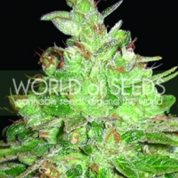 Afghan Kush x Black Domina Feminised Cannabis Seeds | Discount Cannabis Seeds