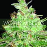 Afghan Kush x Black Domina Feminised Cannabis Seeds   Discount Cannabis Seeds