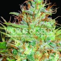 Afghan Kush x Skunk Feminised Cannabis Seeds | World of Seeds