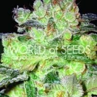 Afghan Kush x White Widow Feminised Cannabis Seeds   World of Seeds