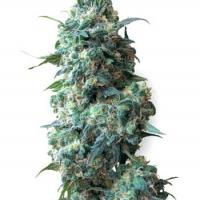 Afghan Kush Regular Cannabis Seeds | White Label Seed Company