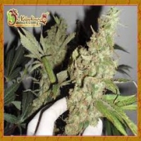 Dr Krippling Afghan Cow Feminised Cannabis Seeds For Sale