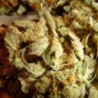 Aiea Regular Cannabis Seeds | Delta 9 Labs
