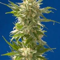 AK Feminised Cannabis Seeds  CBD Seeds