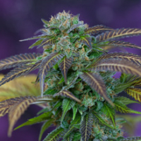Alchemy Regular Cannabis Seeds | TGA Seeds